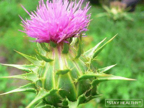 Tej bogáncs pikkelysömör kezelése seborrhea pikkelysömör fejbőr samponok kezelése