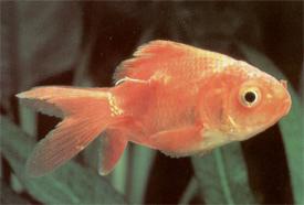 aranyhal betegség vörös foltok kezelése)