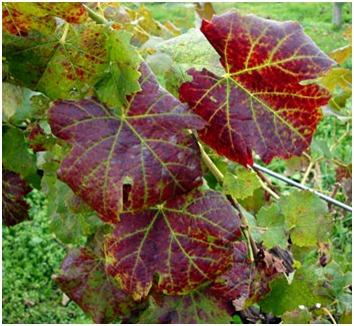 A szőlőlevelek és szerepük a szőlőtermesztésben - Agrofórum Online