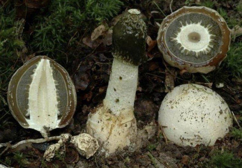 pikkelysömör kezelése veselka gombával)