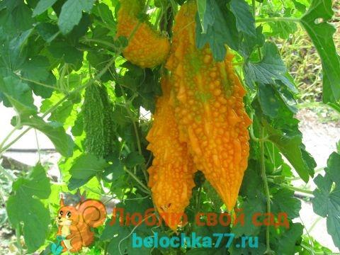 pikkelysömör kezelése káposzta savanyúsággal)