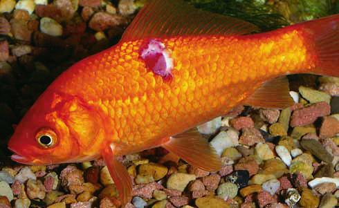 aranyhal betegség vörös foltok kezelése