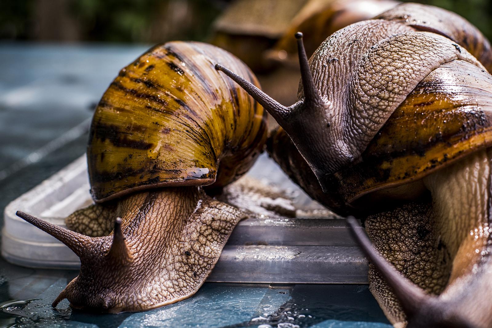 Achatina kozmetikában. A csigák előnyei és kárai. Masszázs és bőrfiatalítás