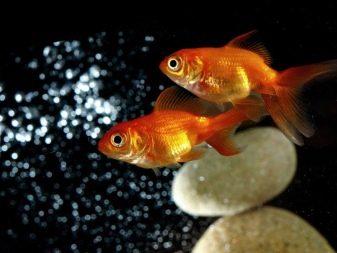aranyhalaknak piros foltjai vannak hogyan kell kezelni)