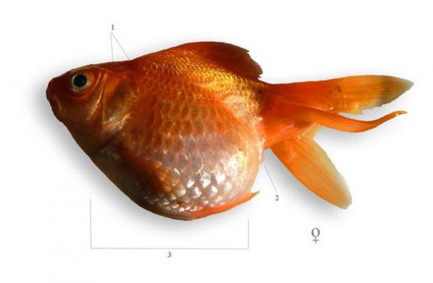 Halbetegségek és kezelésük I. Az aranyhal betegségei és kezelésük vörös foltok